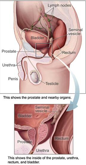 The Prostate Location - from Wikipedia